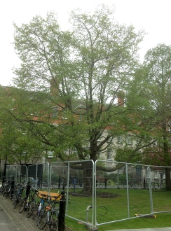 Trinity College Trees hop horn beam cordened off