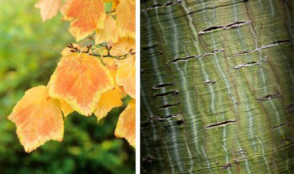 snakebark maple leaves and stripey bark